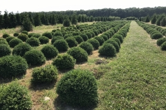 Green Velvet Boxwood Field Grown