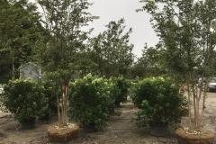 Hydrangeas and Crape Myrtles
