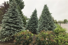 Landscape Sized Evergreens