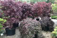 Specialty Specimen Japanese Maples