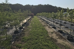 Thousands of 10 Gallon and Up Container Trees Grown in Pot in Pot